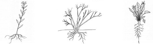Illustration of stem, clump, and rosette